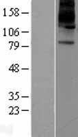 NBL1-07806 - ATP12A Lysate