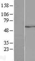 NBL1-07816 - ATP5A Lysate