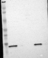 NBP1-86162 - ATP5D