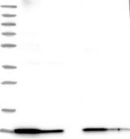 NBP1-89496 - ATP synthase subunit e