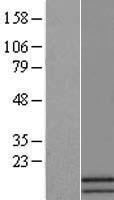 NBL1-07827 - ATP5J2 Lysate