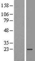NBL1-07829 - ATP5O Lysate