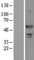 NBL1-07831 - ATP6AP1 Lysate