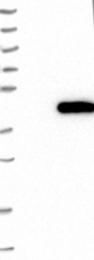 NBP1-88893 - ATP6V0D1