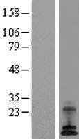 NBL1-07836 - ATP6V0E1 Lysate
