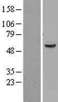 NBL1-07838 - ATP6V1B1 Lysate