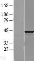 NBL1-07840 - ATP6V1C1 Lysate
