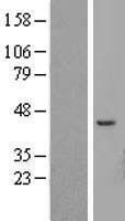 NBL1-07841 - ATP6V1C2 Lysate