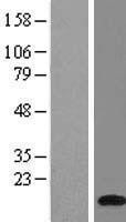 NBL1-07846 - ATP6V1G1 Lysate