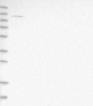 NBP1-88905 - ATP9A