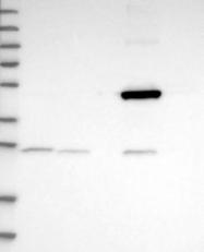 NBP1-88885 - ATPAF2 / ATP12