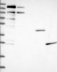 NBP1-91691 - ATPBD4