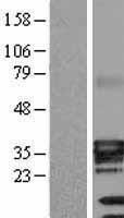 NBL1-07812 - ATPase Na+/ K+ beta 3 Lysate