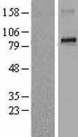 NBL1-07853 - ATRIP Lysate