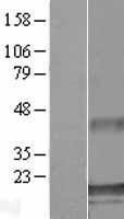 NBL1-07854 - ATXN7L1 Lysate