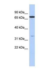 NBP1-70416 - ATXN7L2