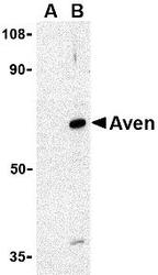 NBP1-76764 - AVEN