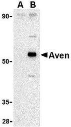 NBP1-76771 - AVEN