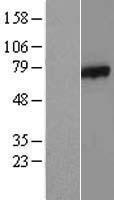 NBL1-07870 - AXUD1 Lysate
