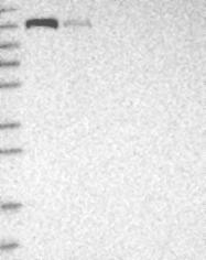 NBP1-90053 - CEP131 / AZI1