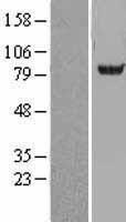 NBL1-07270 - Acetyl CoA synthetase Lysate