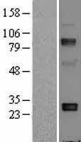 NBL1-07342 - Adiponectin Lysate