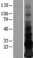 NBL1-08588 - Adropin Lysate