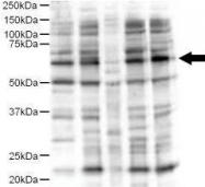 NB600-468 - Protein ajuba / JUB