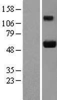 NBL1-12115 - Ajuba Lysate
