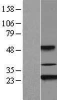NBL1-07431 - Akirin2 Lysate