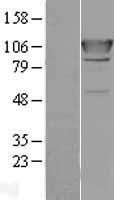 NBL1-07165 - AlaRS Lysate