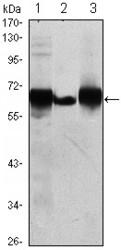 NBP1-51619 - Alkaline phosphatase / PLAP / ALPP