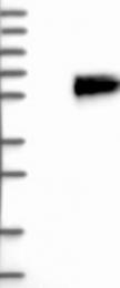 NBP1-90303 - Alpha-2-HS-glycoprotein