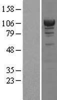NBL1-07283 - Alpha Actinin 4 Lysate