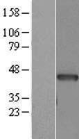 NBL1-07273 - Alpha Cardiac Muscle Actin Lysate