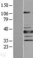 NBL1-09713 - Alpha Dystroglycan Lysate