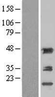 NBL1-07300 - Aminoacylase 1 Lysate