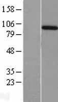 NBL1-07507 - Amphiphysin Lysate