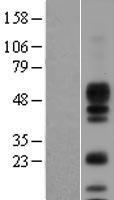 NBL1-07648 - Amphiregulin Lysate