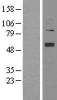 NBL1-07521 - Angiopoietin 1 Lysate