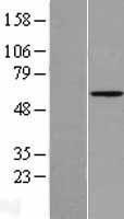 NBL1-07522 - Angiopoietin 2 Lysate