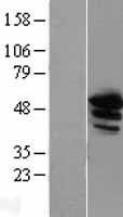 NBL1-07559 - Annexin A11 Lysate