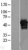 NBL1-07560 - Annexin A11 Lysate