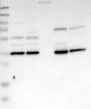 NBP1-90158 - Annexin A13 / ANXA13