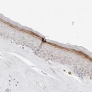NBP1-90152 - Annexin A9 / ANXA9