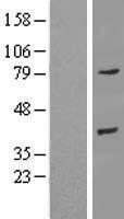 NBL1-07568 - Annexin A9 Lysate