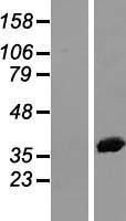 NBL1-07561 - Annexin II Lysate