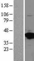 NBL1-07562 - Annexin II Lysate
