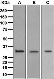 NBP1-95436 - Annexin A5 / ANXA5