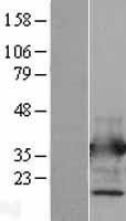 NBL1-07565 - Annexin V Lysate